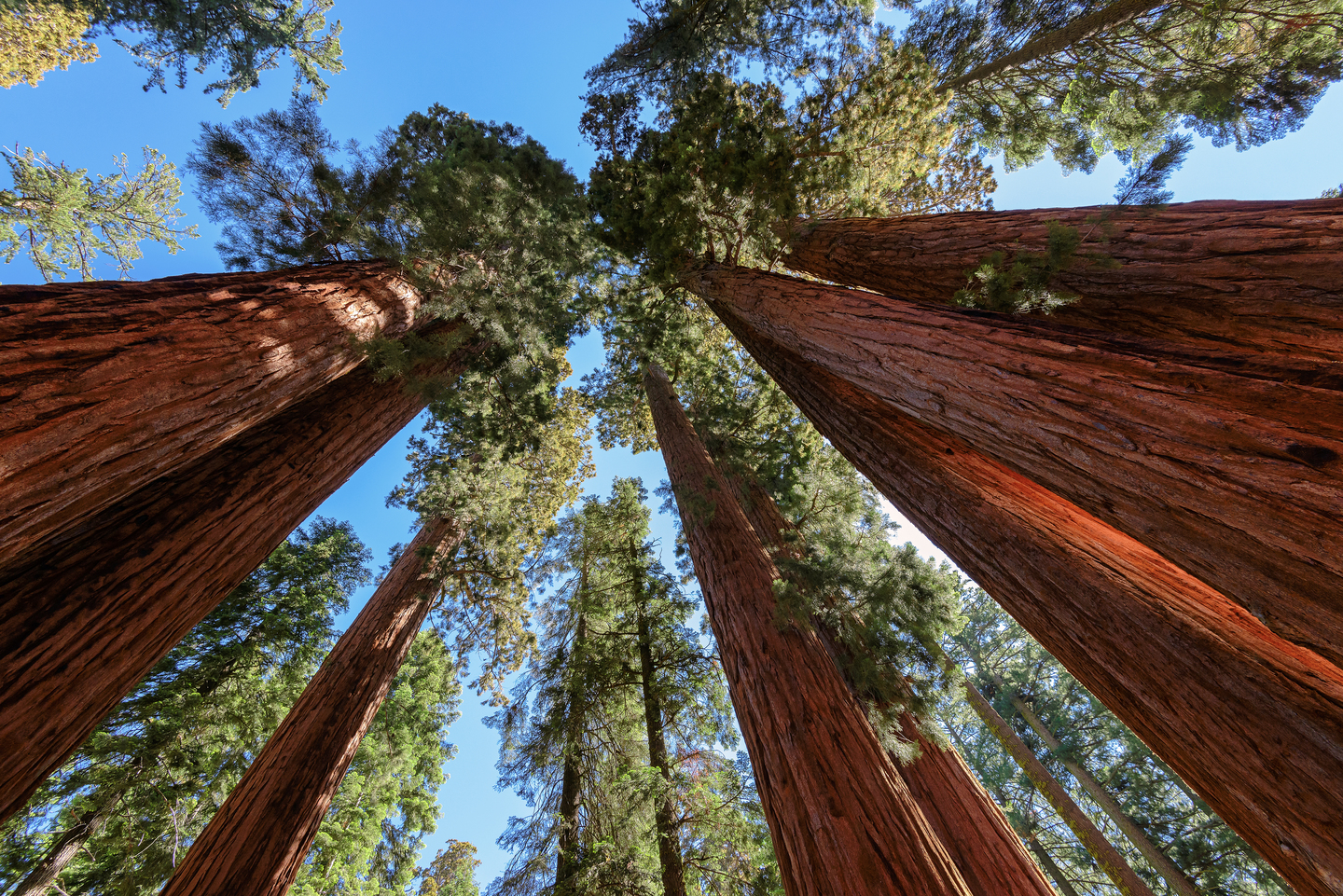 Looking up at giant sequoia trees
